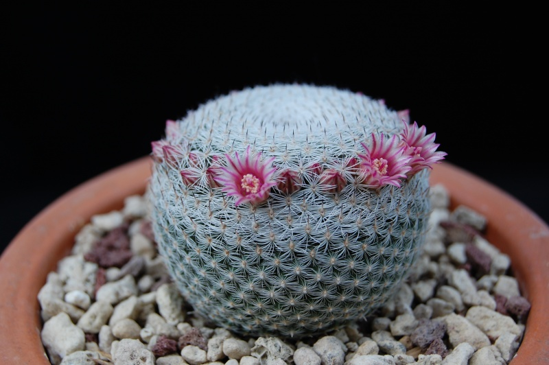 Mammillaria ID please 2485-210