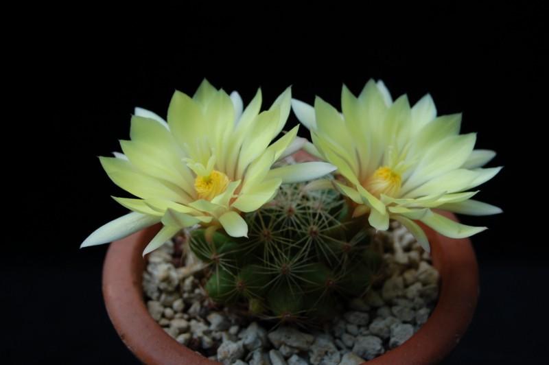 Mammillaria sphaerica 2492-210