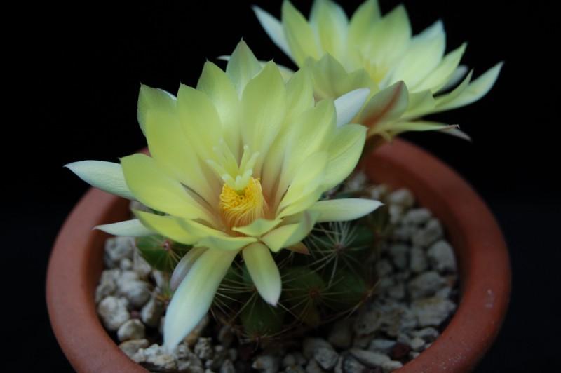 Mammillaria sphaerica 2492-211