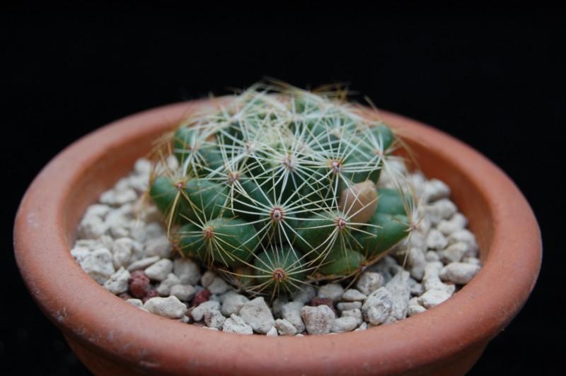 Mammillaria sphaerica 2492-212