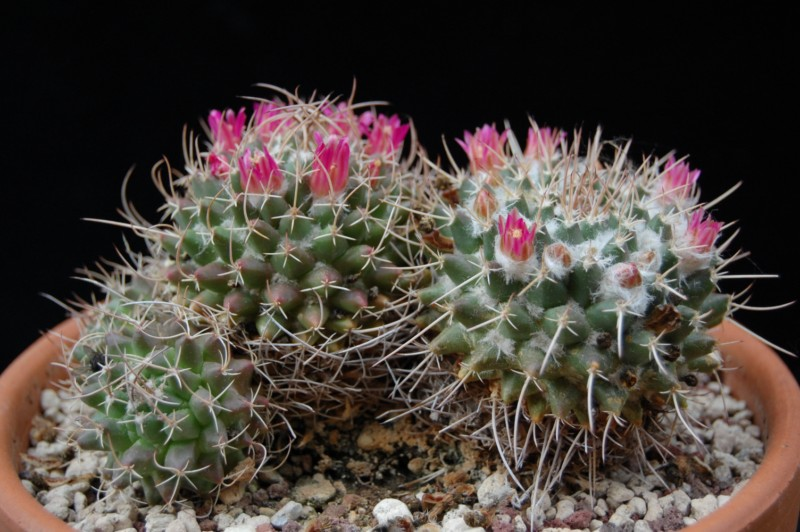 Mammillaria vallensis 2562-214
