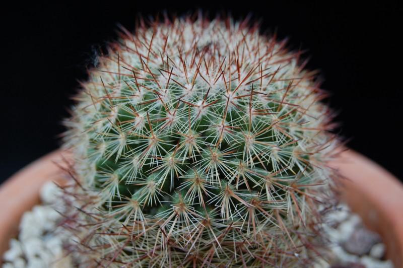 Mammillaria supraflumen 2591-s10