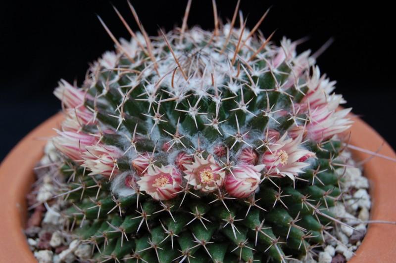 Mammillaria saxicola 2626-s10