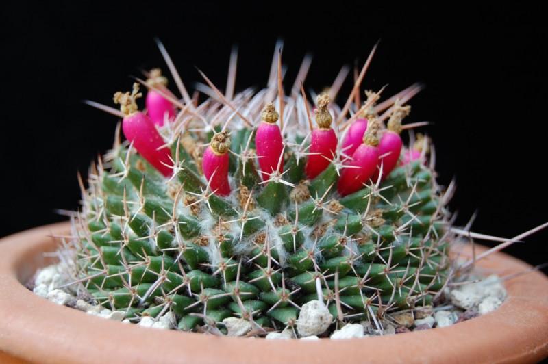 Mammillaria saxicola 2626-s11
