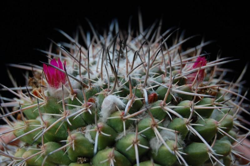 Mammillaria seitziana 2710-211