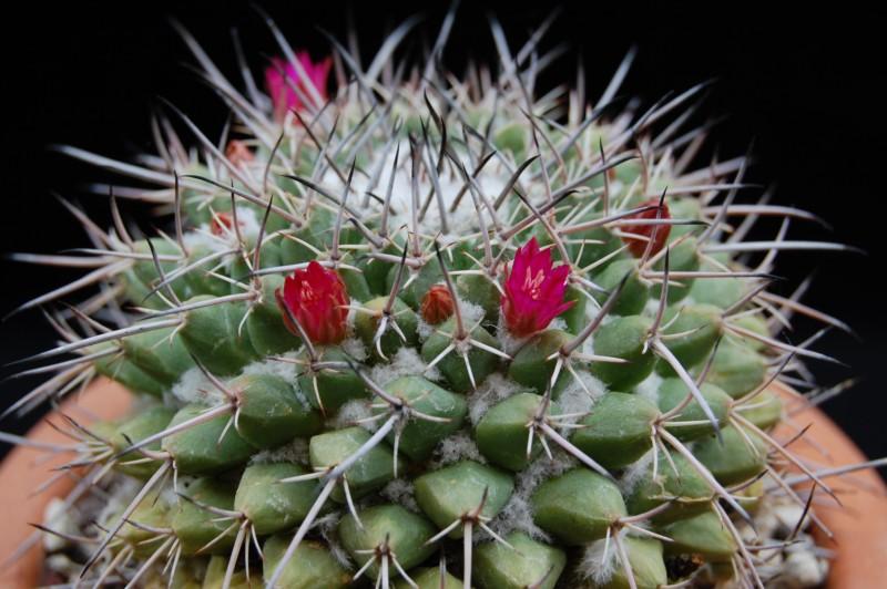 Mammillaria seitziana 2710-212