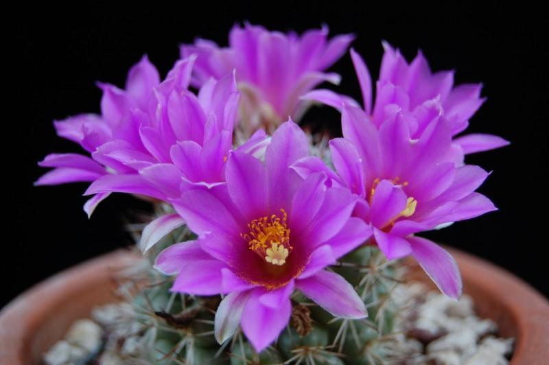 Mammillaria schumannii 2720-s10