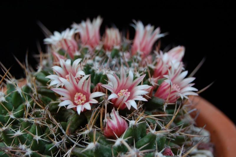 Mammillaria saxicola 2828-s10