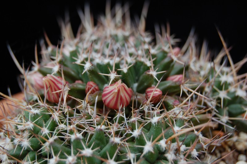 Mammillaria saxicola 2828-s11