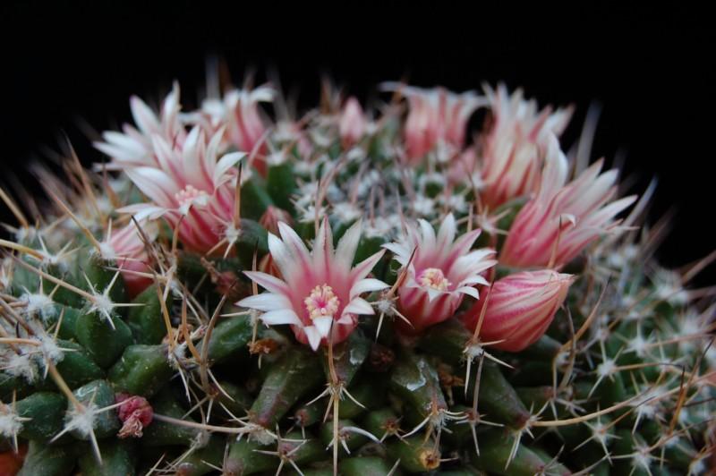Mammillaria saxicola 2828-s12