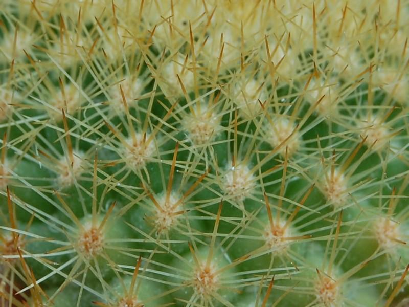 Mammillaria spinosissima 2903-s12