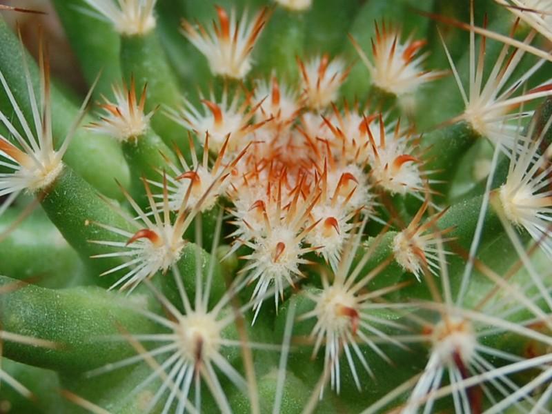 Mammillaria viridiflora 3007-212