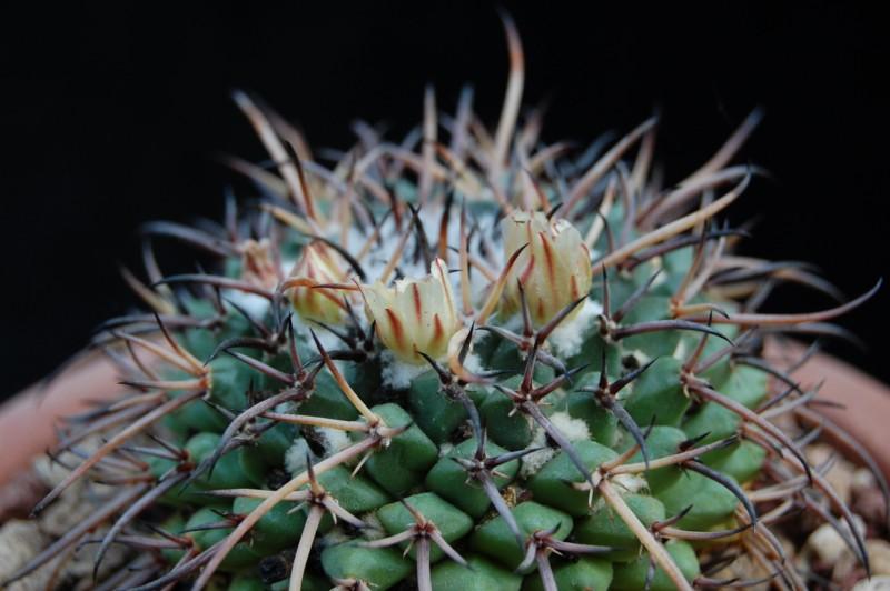Mammillaria saint-pieana 3143-211