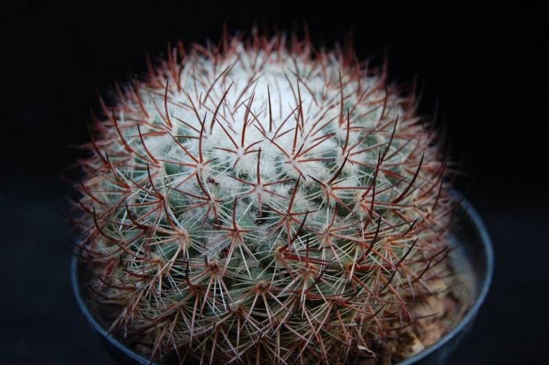 Mammillaria verticealba 3157-v10