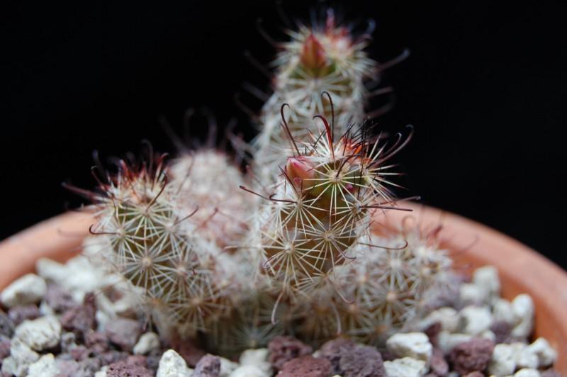 Mammillaria thornberi 3258-t11