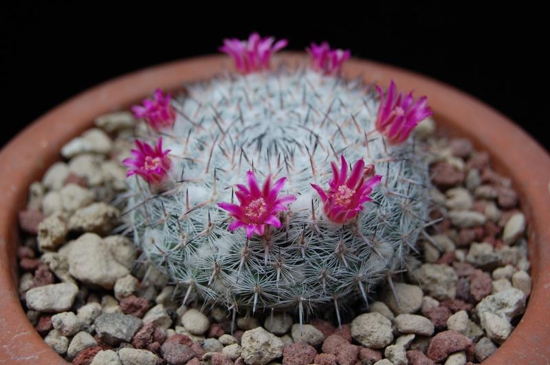 Mammillaria albata 3263-210