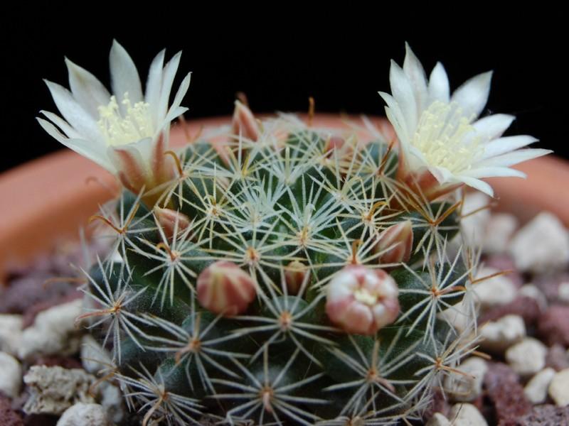 Mammillaria tezontle 3265-213