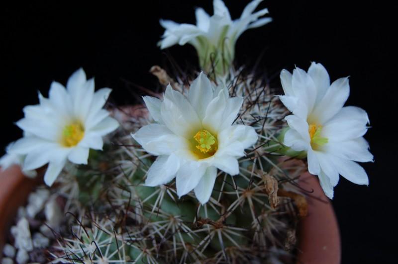 Mammillaria schumannii 328-sc11
