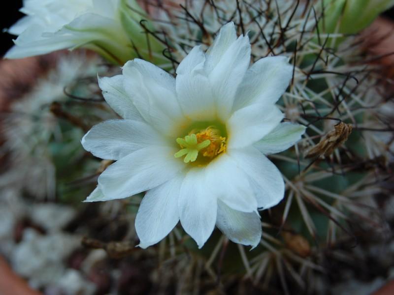 Mammillaria schumannii 328-sc12