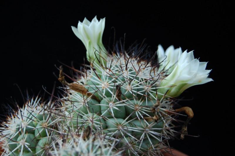 Mammillaria schumannii 328-sc13