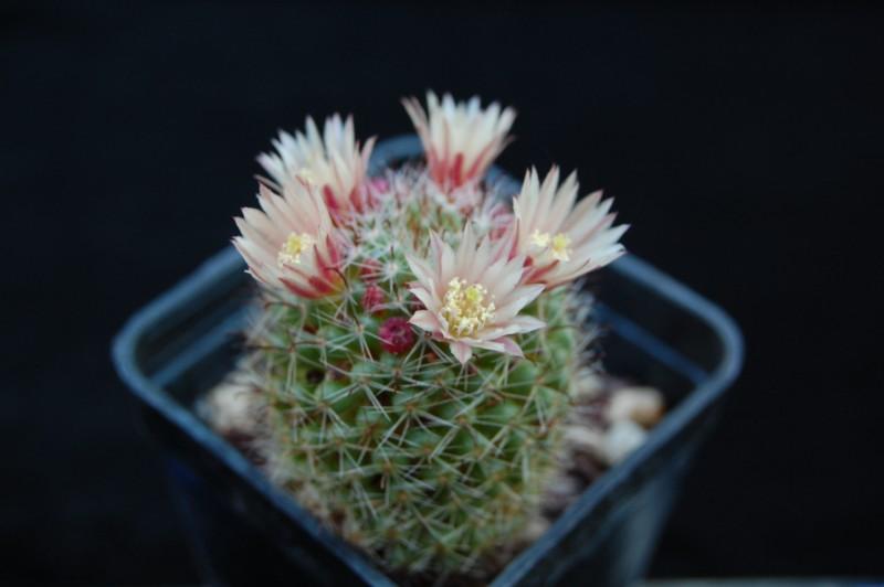 Mammillaria scheidweileriana 3300-s10