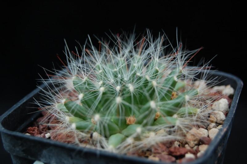 Mammillaria zephyranthoides 3488-210
