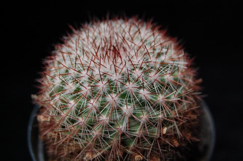 Mammillaria silvatica 3571-s10