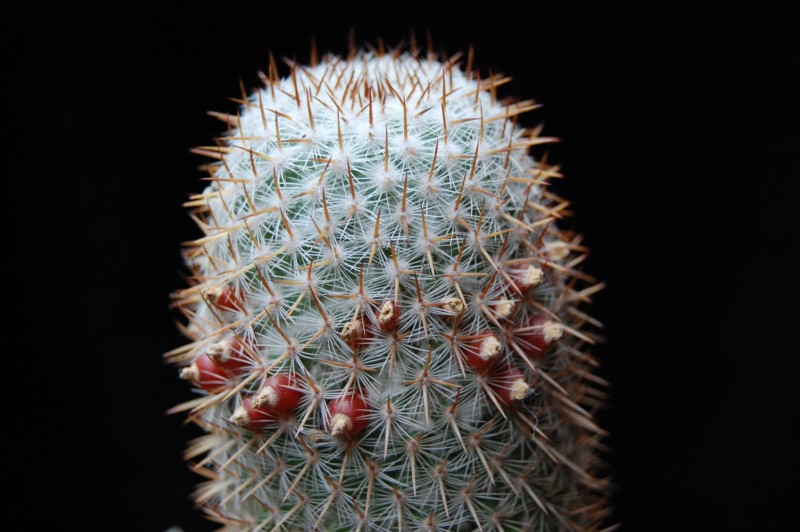 Mammillaria graessneriana 4043-210