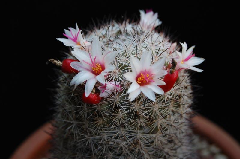 Mammillaria albicans 4068-210