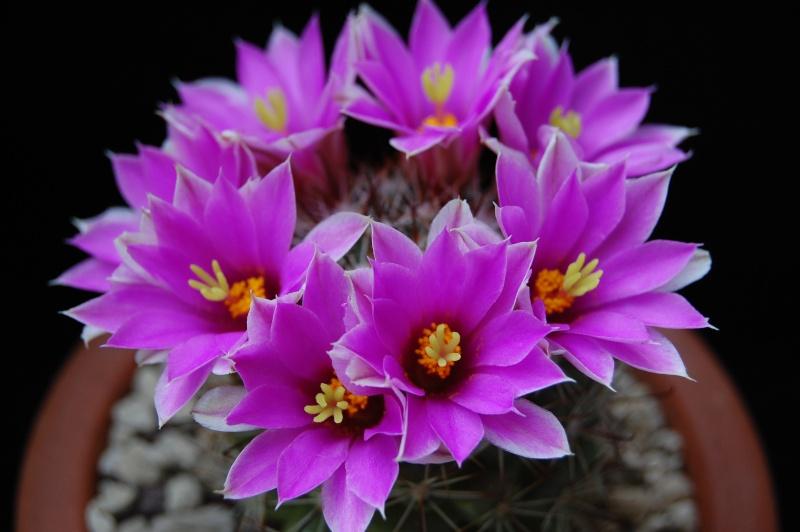 Mammillaria schumannii 499-2010