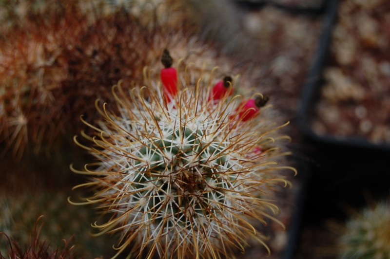 Mammillaria armillata        Armill10
