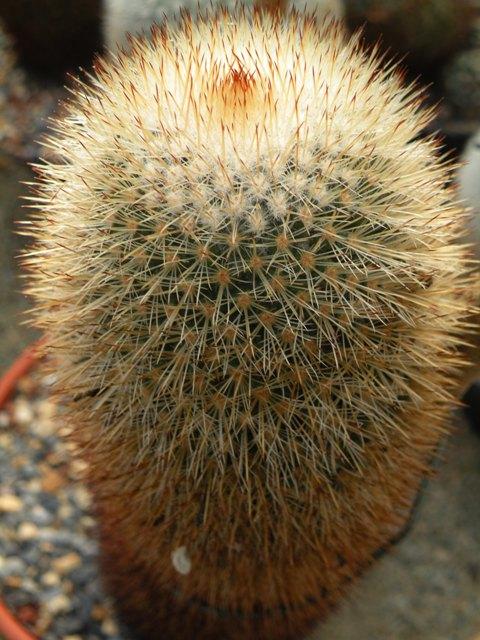Mammillaria nunezii Bella_10