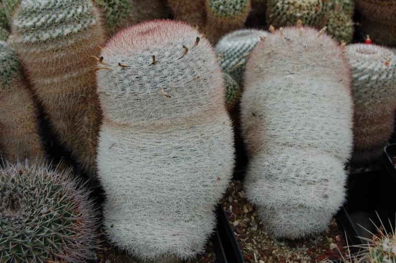 Mammillaria candida Candid11