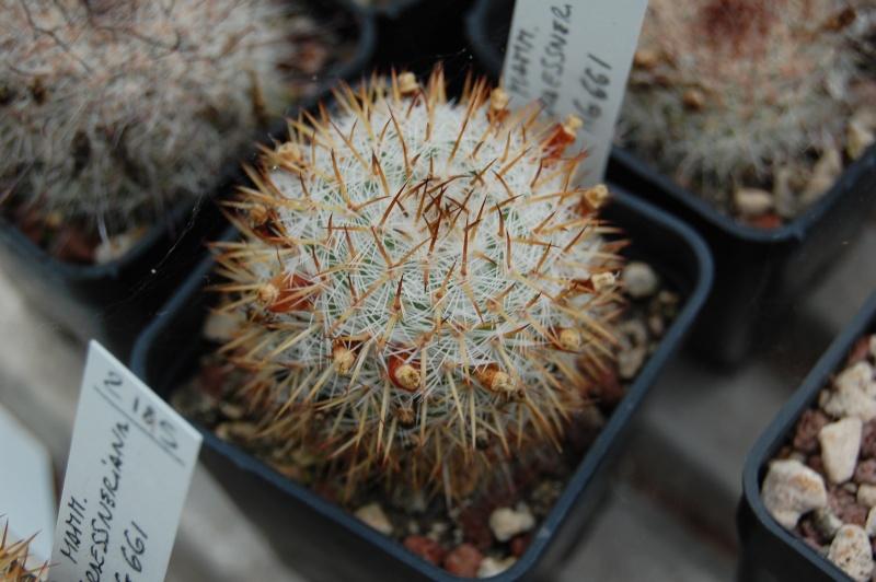 Mammillaria graessneriana Graess10