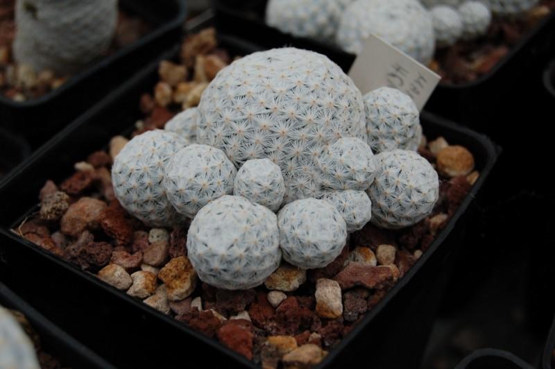 Mammillaria herrerae Herrer10