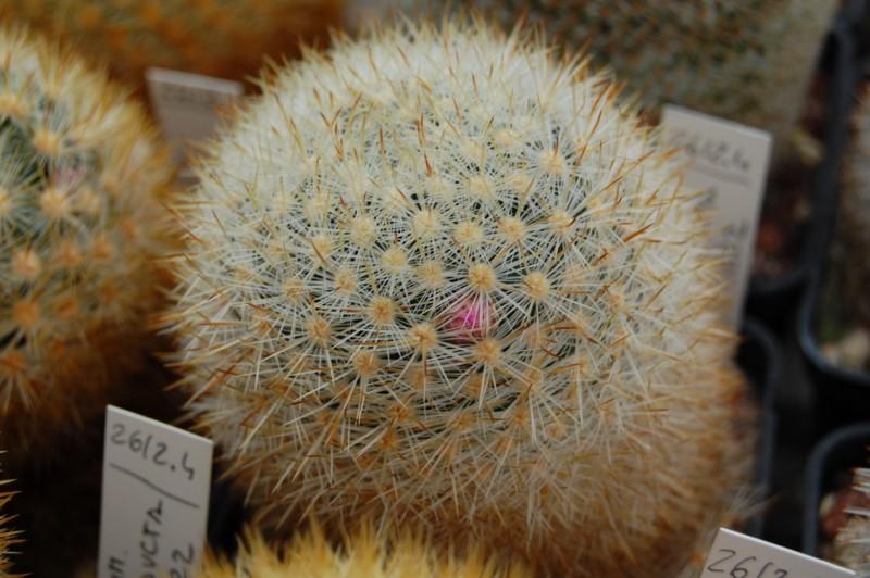 Mammillaria laui Laui_s10