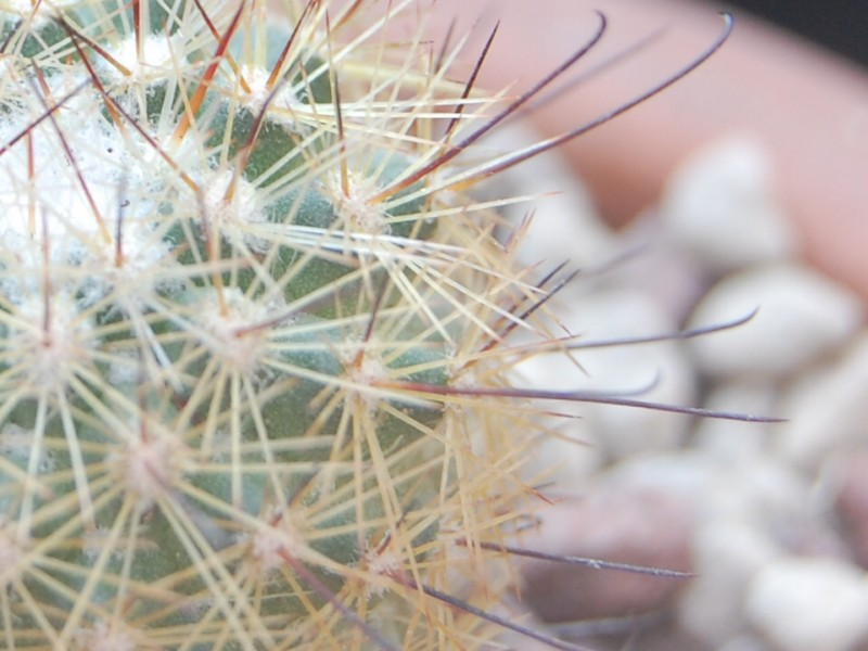 mammillaria neopalmeri Neopal12
