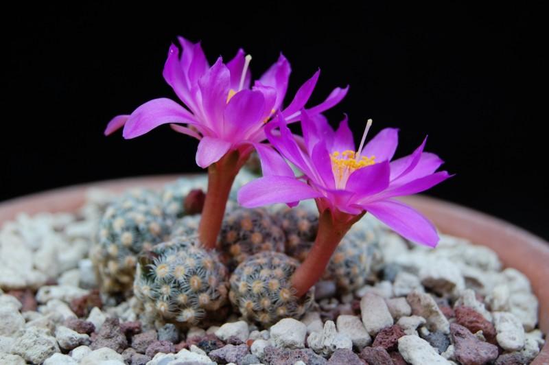 Mammillaria saboae Saboae12