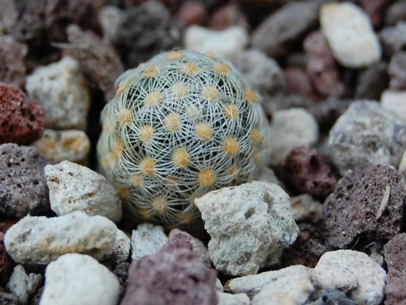 Mammillaria saboae Saboe_10