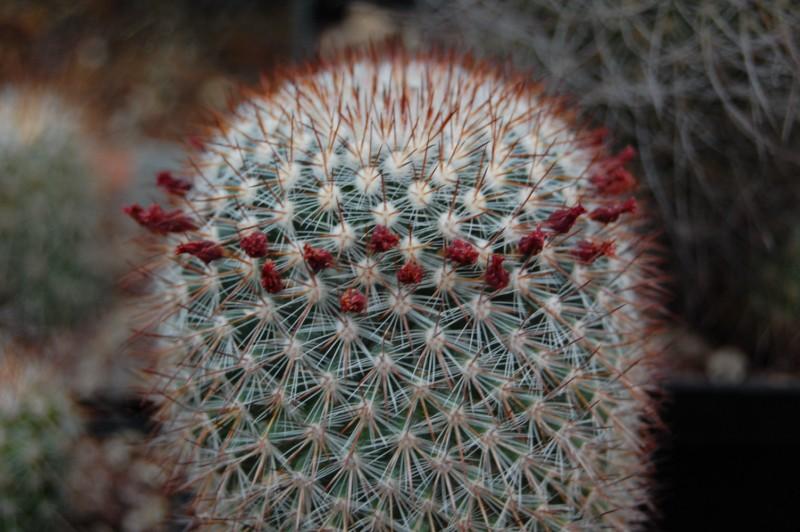 Mammillaria sanjuanensis  Sanjua10