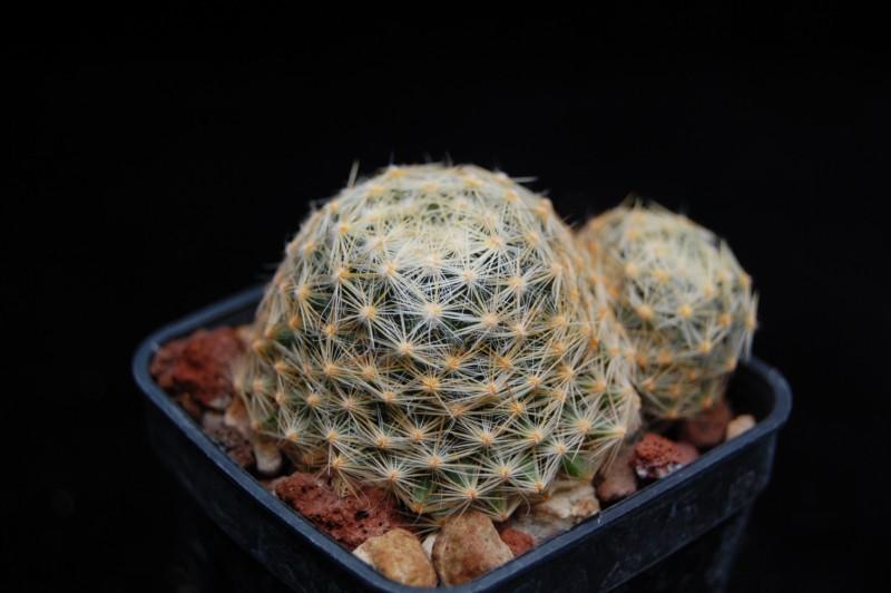 Mammillaria schiedeana Schied17