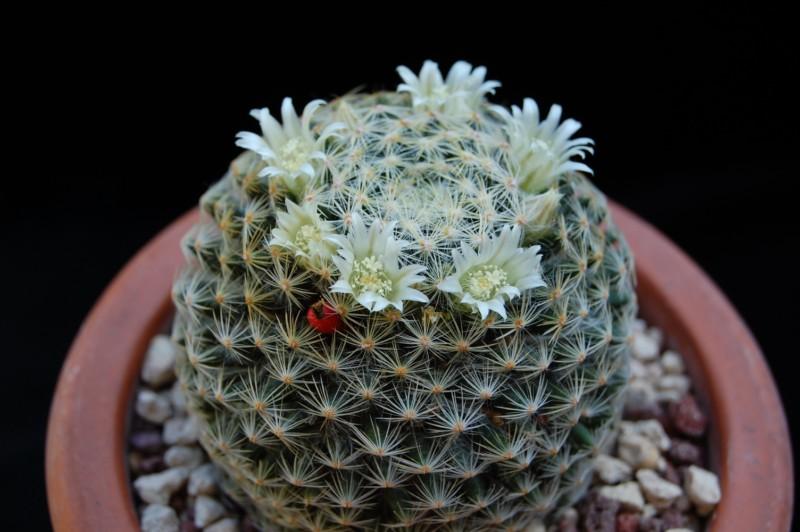 Mammillaria schiedeana Schied21
