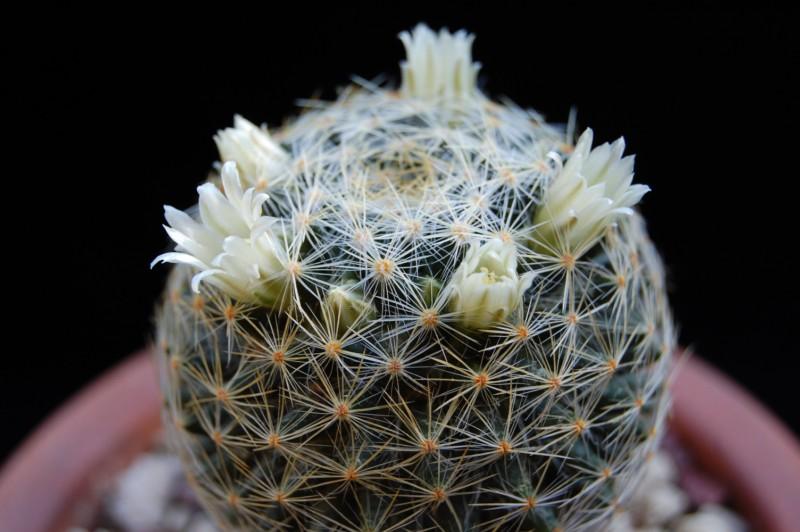 Mammillaria schiedeana Schied22