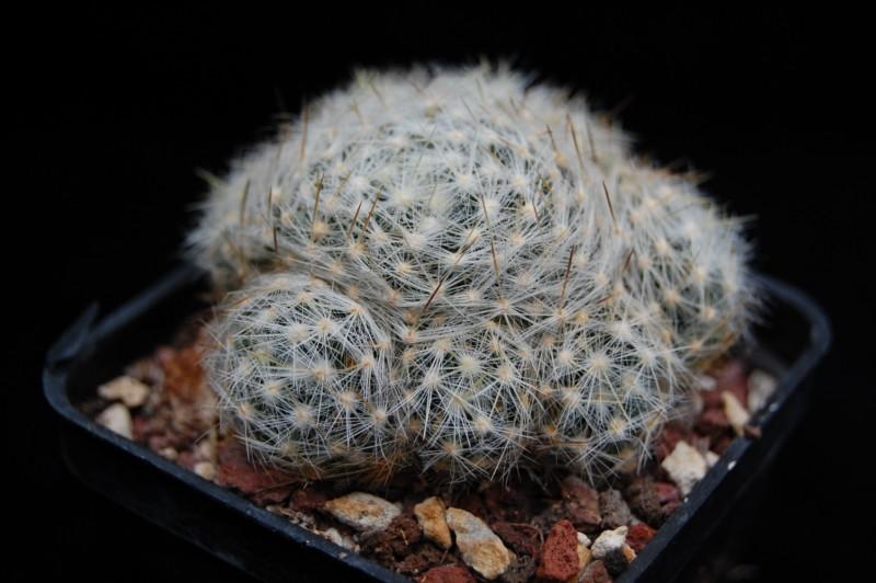 Mammillaria schiedeana Schied23