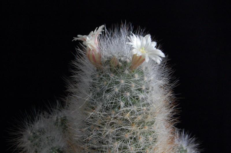 Mammillaria schwarzii Schwar12