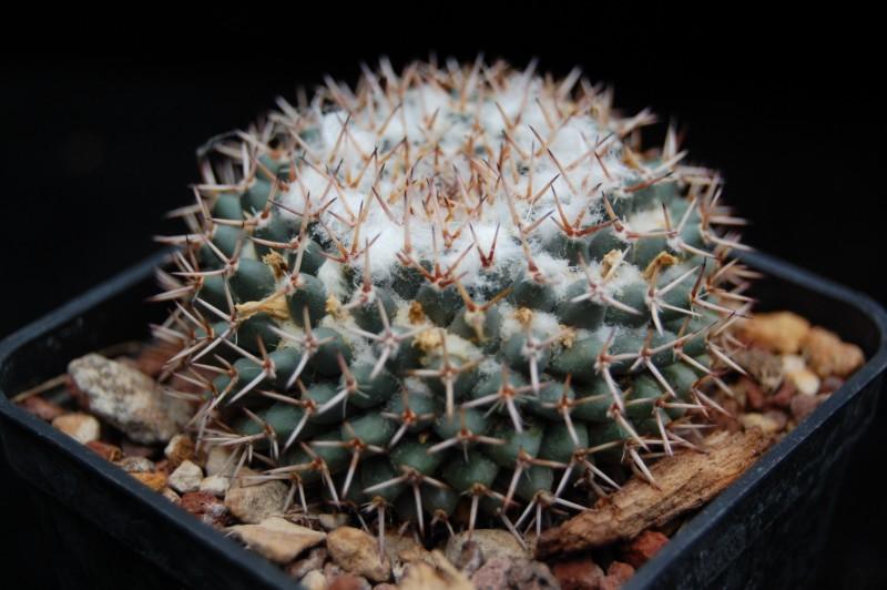 Mammillaria sempervivi Semper11