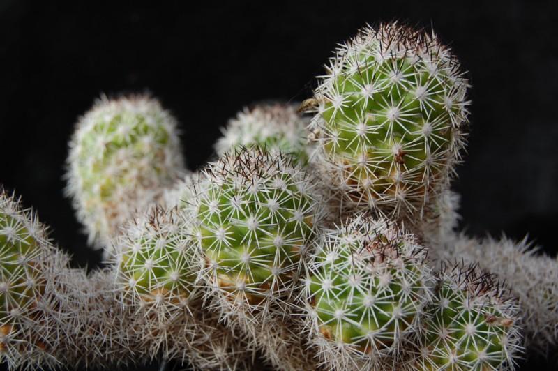 Mammillaria sphacelata Sphace12