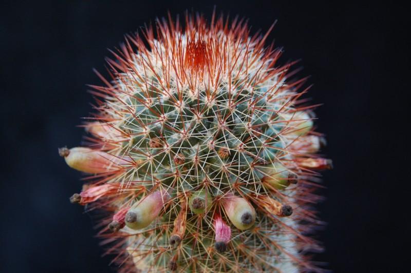 Mammillaria spinosissima Spinos13