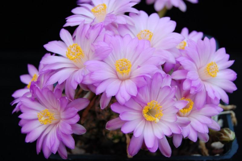 Mammillaria theresae Theres12