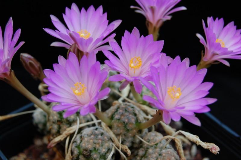 Mammillaria theresae Theres14